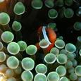 ハマクマノミ 幼魚   イレギュラー2バンド